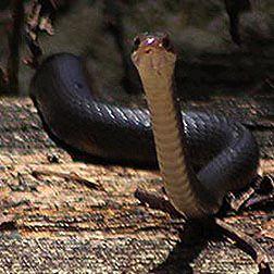 Corkscrew Swamp Sanctuary Snakes